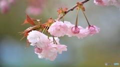 平成最後を咲く桜達~lx