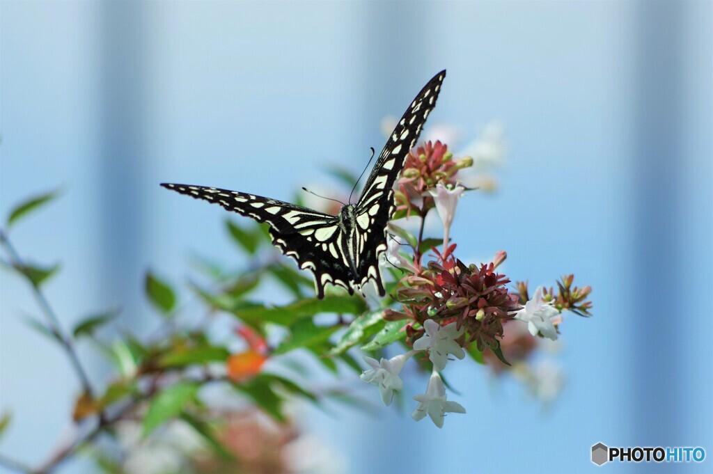 長月の蝶達~ⅲ