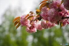 名残り惜しき八重桜~ⅱ