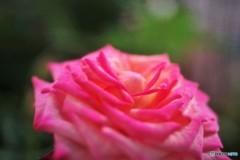 暮れ咲き、、、。