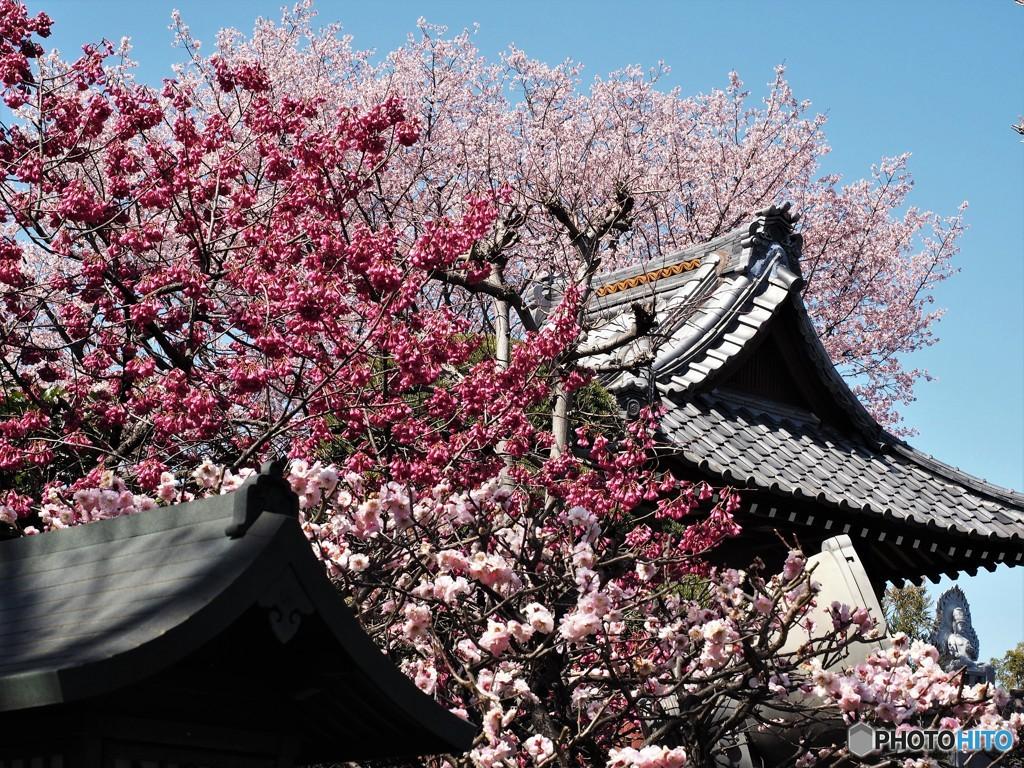 安行桜~ⅱ
