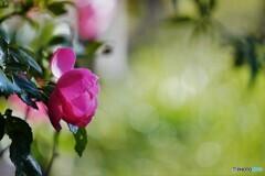 冬の薔薇~ⅳ