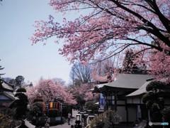 安行桜~ⅶ