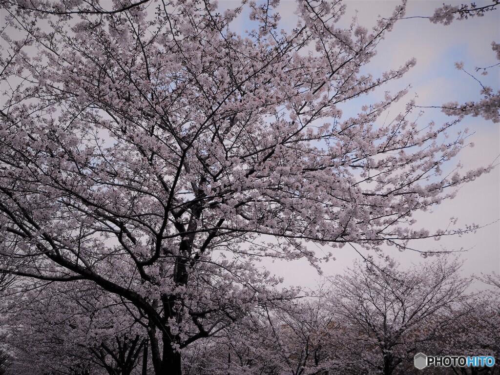 2021桜前線