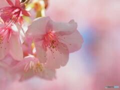 2021桜だより~xvii