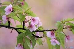 その後の河津桜
