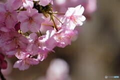 団地内の河津桜~ⅲ