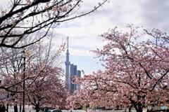 汐入、河津桜