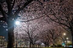オオカンザクラ夜桜~ⅷ