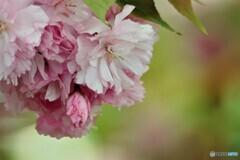 名残り惜しき八重桜~ⅳ