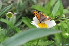 紅小灰蝶~ⅱ