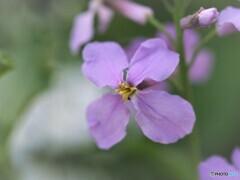 大紫羅欄花