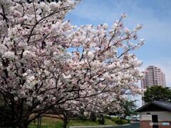 名残り惜しき八重桜~ⅴ