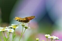 豹紋蝶~ⅲ