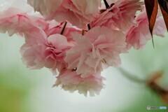名残り惜しき八重桜~ⅰ