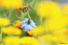 黄花の隙間、、、。