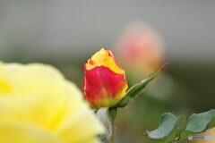 黄薔薇の蕾
