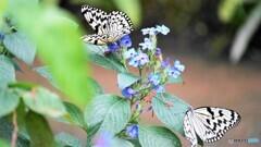 冬の蝶~⑱