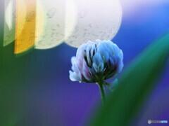 黄昏時の白詰め草~ⅱ