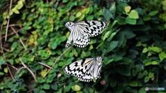 冬の蝶~③