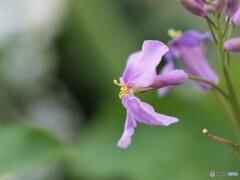 大紫羅欄花ⅱ