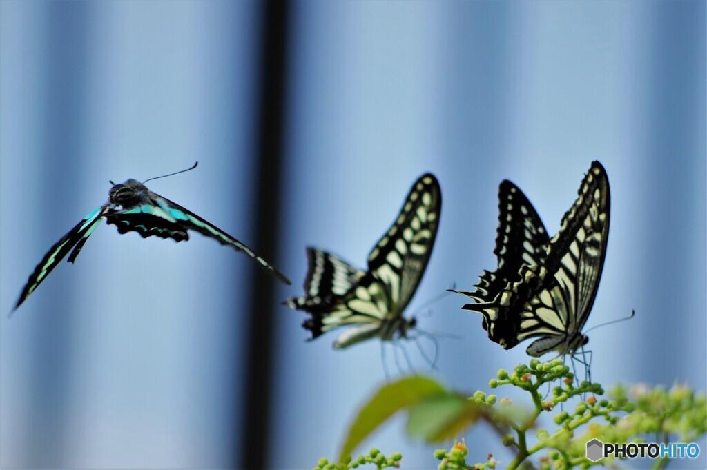 長月の蝶達~ⅳ