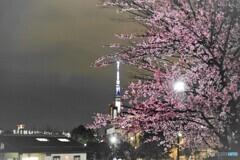 オオカンザクラ夜桜~ⅵ