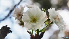 冬桜、、、。