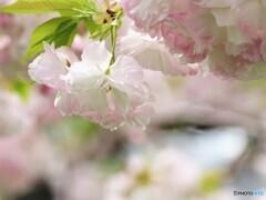 名残り惜しき八重桜~ⅸ