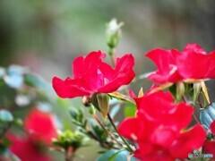 冬の薔薇~ⅱ