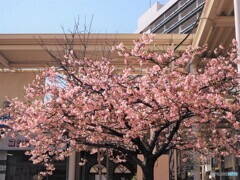 団地内の河津桜