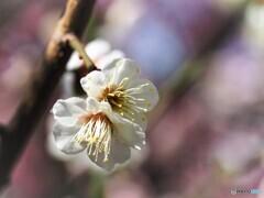 まだ綺麗に咲いてるよ、、、。