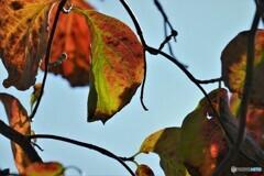 秋色のハナミズキ