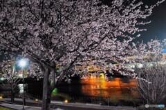 オオカンザクラ夜桜~ⅸ