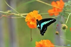 追憶の青い翅~④