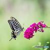 喜びの蝶達ー⑤