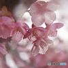 如月桜-Ⅳ