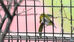 籠の鳥、、、??