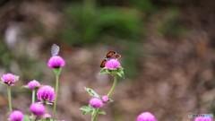 引き気味な蝶