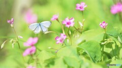 小灰蝶の舞