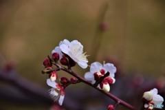 上野の森の白梅