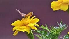 黄花の上に咲く紅華、、、。