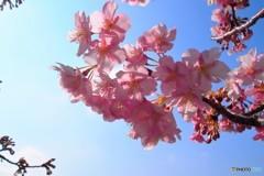 汐入河津桜ⅻ