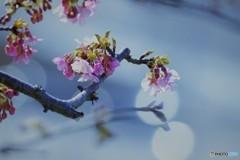 汐入河津桜ⅺ