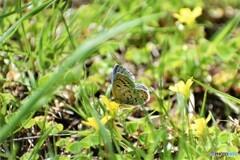 酢漿草と蝶