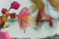 汐入、河津桜ⅴ