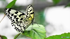冬の蝶~④