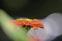 百日も咲く花、、、。