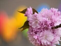 虹色、関山桜