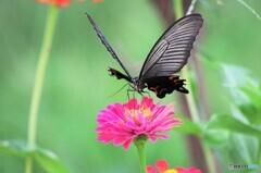 黒蝶の魅力~ⅱ